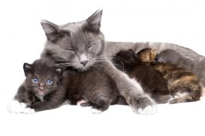 Cat Breeding and -raser