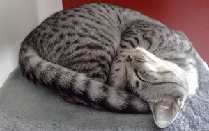 gray speckled cat